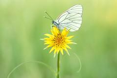 31. Yellow Magic... (Zbyszek Walkiewicz) Tags: butterflies butterfly sony closeup