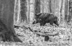 Ambiance Scrofa (Eric Penet) Tags: sanglier wildlife wild france faune forêt mammifère mormal animal sauvage avesnois hiver soleil février nature nord boar suidé sus scrofa mammal