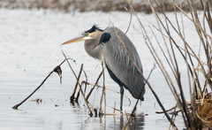 7K8A1116 (rpealit) Tags: scenery wildlife nature edwin b forsythe national refuge brigantine great blue heron bird