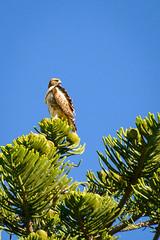 Red-tailed Hawk (phoca2004) Tags: birding z6 fortmason sanfrancisco birds ggnra goldengatenationalrecreationarea redtailedhawk fortmasoncommunitygarden nikon buteojamaicensus