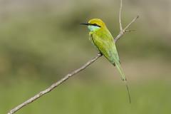 Green Bee-eater (Merops orientalis) (sp. # 246) (SharifUddin59) Tags: greenbeeeater beeeater meropsorientalis merops orientalis bird perched perchedbird nature wildlife noakhali bangladesh animal