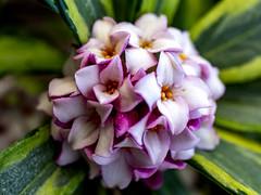arboretum (valerie something or other) Tags: flower winter raleigh carolina arboretum pink