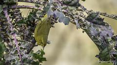 Orange-crowned Warbler (Bob Gunderson) Tags: birds california fortmason northerncalifornia orangecrownedwarbler oreothlypiscelata sanfrancisco warblers woodwarblers