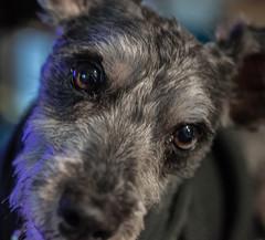 Rufio (3) (ACEZandEIGHTZ) Tags: portrait pet schnauzer animal dog nikon d3200 canine coth coth5 sunrays5