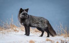 Silver Fox (Melissa M McCarthy) Tags: silverfox fox animal nature outdoor wildlife wild mammal black silver grey gray blue ocean atlantic stjohns newfoundland canada canon7dmarkii canon100400isii