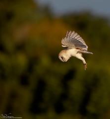 Barnie.. Early Morning Hunting (Steve (Hooky) Waddingham) Tags: stevenwaddinghamphotography animal amble countryside coast bird british barn voles nature northumberland flight hunting hover wild wildlife