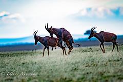 Topi Mating (mayekarulhas) Tags: topi narok riftvalleyprovince kenya ke animal antilope africa masaimara canon canon500mm canon1dxmark2 safari
