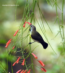 DSCN6187 Purple-rumped Sunbird-Female (Leptocoma zeylonica) (vlupadya) Tags: greatnature animal aves fauna indianbirds purplerumped sunbird female leptocoma kundapura karnataka