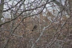 Brown-headed Cowbird (Isaac's Fishing Corner) Tags: the brownheaded cowbird bird birding