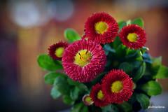 DSC_0787 red in the evening light (profmarilena) Tags: reddaisies macro closeup spring eveninglight bokeh profmarilena