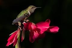Volcano hummingbird (female) (Eric Gofreed) Tags: hummingbird selasphorusflammula volcanohummingbird