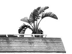 Roof Garden (zeevveez) Tags: זאבברקן zeevveez zeevbarkan canon bw banana tree