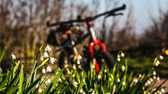 IMG_8283-1a (Photopedaler) Tags: cornishcycling bicycle bokeh snowdrops wildflowers marinpinemountain