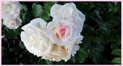 Moonstone Roses (Susannaphotographer) Tags: moonstone moonstoneroses roses rose rosas rosa flowers flower fiori fleur flor garden whiteroses rosegarden