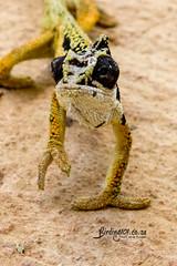Wolkberg Dwarf Chameleon, Magoebaskloof, Limpopo, Dec 2018 (roelofvdb) Tags: 2019 chameleon date december limpopo magoebaskloof place sareptiles transvaaldwarfchameleon wolkbergdwarfchameleon year rep425