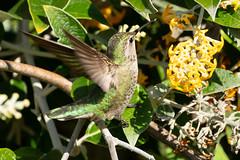 En garde! 2335 (maguire33@verizon.net) Tags: annas annashummingbird hummingbird losangelescountyarboretum bird hummer wildlife