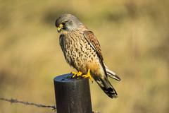 watching (Yvonne Alderson) Tags: male kestrel watching post hunting perched england northeast yvonnealderson