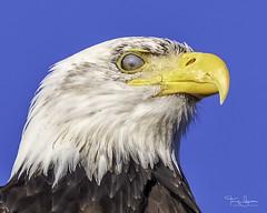 North American Bald Eagle (Hawg Wild Photography) Tags: american bald eagle raptor birdofprey bird wildlife nature terrygreen skagitcountywashington skagitvalley hawg wild photography