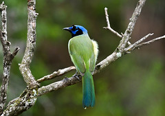 Green Jay (Cyanocorax yncas) (Kremlken) Tags: cyanocoraxyncas charaverde jays stateparks border birds birding birdwatching nikon500 neotropical