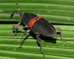 Cactophagus sanguinolentus (Birdernaturalist) Tags: beetle coleoptera costarica curculionidae curculionoidea dryophthorinae richhoyer