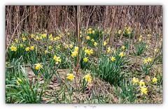 Pb_3290124 (calpha19) Tags: imagesvoyagesphotography adobephotoshoplightroom olympusomdem1mkii zuiko ed1260swd mars 2019 flore flowers fleurs jonquille anémone printemps grangessurvologne grandest vosges ngc flickrsexplore