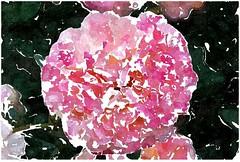 Mich kann nichts so sehr vergnügen (amras_de) Tags: rose rosen ruža rosa ruže rozo roos arrosa ruusut rós rózsa rože rozes rozen roser róza trandafir vrtnica rossläktet gül blüte blume flor cvijet kvet blomst flower floro õis lore kukka fleur bláth virág blóm fiore flos žiedas zieds bloem blome kwiat floare ciuri flouer cvet blomma çiçek zeichnung dibuix kresba tegning drawing desegnajo dibujo piirustus dessin crtež rajz teikning disegno adumbratio zimejums tekening tegnekunst rysunek desenho desen risba teckning çizim