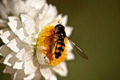 Hoverfly (Rodger1943) Tags: insects hoverflies australianinsects sonyrx10m4