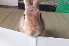 Ichigo san 1529 (Errai 21) Tags: いちごさん ichigo san  ichigo rabbit bunny cute netherlanddwarf pet うさぎ ウサギ いちご ネザーランドドワーフ ペット 小動物 1529