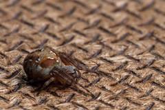 "Pretty Drab for ""Evergreen"", Pt. 2 - _TNY_4895S2 (Calle Söderberg) Tags: macro canon canon5dmkii canoneos5dmarkii canonef100mmf28usmmacro canon5dmarkii 5d2 flash meike mk300 glassdiffusor raynox dcr250 arachnida araneae spider spindel ruterspindel masonite pattern brown focusstacking zerenestacker zerene evergreenorbweaver araneus sturmi orbweaver hjulspindel araneidae f22"