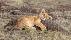 lion cub (eric hughes 2014) Tags: lion cub nature wildlife africa animal massaimara kenya canon 7dmarkii 300mmf28lllisusm 2019