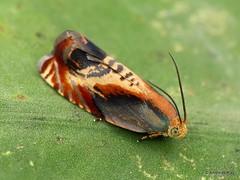 Pretty Micro-moth, Tortricidae (Ecuador Megadiverso) Tags: andreaskay ecuador microlepidoptera micromoth moth tortricidae
