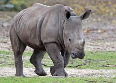 white rhino Burgerszoo 094A0888 (j.a.kok) Tags: rhino rhinoceros witteneushoorn neushoorn whiterhino breedlipneushoorn animal mammal zoogdier dier africa afrika burgerszoo burgerzoo