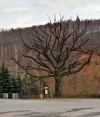 stary piękny dąb (roman25a) Tags: drzewa
