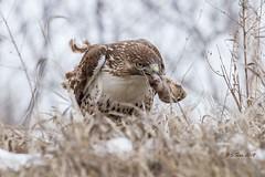 250 redtail hawk (starc283) Tags: hawk raptor nature wildlife bird birding redtail canon slbflying outdoor flickr flicker starc283 naturewatcher naturesfinest