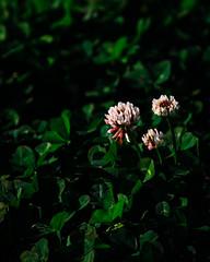 trio of clover (l e o j) Tags: miyazaki kiyotake park plant plants fujifilm xt1 宮崎 清武 公園 植物 clover ツメクサ wildflower wildflowers 野草