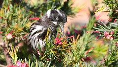New Holland Honeyeater 271018 (6) (F) (Richard Collier - Wildlife and Travel Photography) Tags: birds wildlife australia australianbirds newhollandhoneyeater naturalhistory