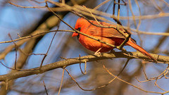 Cardinal in the Sunset Light (Ken Krach Photography) Tags: cardinal