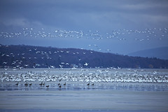 Fly Away (Matt Champlin) Tags: winter snow geese snowgeese life nature outdoors flight bird birds migration white skaneateles canon 2019 home flx spring march
