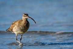 With Purpose (craig goettsch) Tags: shorebird bird avian nature wildlife animals whimbrel nikon d500