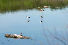 échasses et bécasseau (guy dhotel) Tags: échasse bécasseau oiseau étang