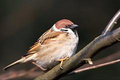 Sperling / Sparrow (Passer montanus) (uwe125) Tags: