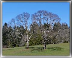 Bigleaf Maples nearing Spring (robinb44) Tags: bigleafmaple garryoak arbutus vancouverisland britishcolumbia bc nanaimo cedar latewinter march trees nanaimoriverestuary acermacrophyllum deciduous tree