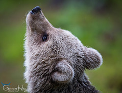It's raining but I don't really care (GunnarImages (Gunnar Haug)) Tags: mother lick cute finland trunk nordic nose brownbear power wildlife tree forest green brown mammal blueberry branch