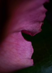 Ruffled Edge (lclower19) Tags: flower petal one smileonsaturday pink onesinglepetal