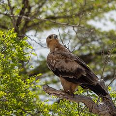 Raubadler - Tawny Eagle (jameshjschwarz) Tags: africa afrika bush lumixgvario4056100300 lumixgh4 mft ostafrika raubadler raubvogel safari selousgamereserve tansania tawnyeagle vogel pwani tz