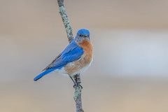 Eastern Bluebird (Joe Branco) Tags: macro branco joe birds bird nikond850 lightroom photoshop joebrancophotographer nature wildlifephotographer nikon easternbluebird green