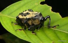 Handsome Weevil, Cratosomus sp., Conoderinae, Curculionidae (Ecuador Megadiverso) Tags: andreaskay beetle coleoptera conoderinae cratosomussp curculionidae ecuador weevil