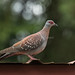 Speckled Pigeon - Kerio Valley - Kenya CD5A7350