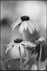 Black-Eyed Susans (Joe_R) Tags: kodaktrix400 blackeyedsusan analog trix flower iso400 pentaxk1000 nature bw fall film hc110b