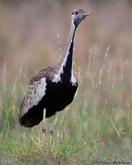 Black-bellied Bustard (leendert3) Tags: leonmolenaar southafrica krugernationalpark wildlife nature birds blackbelliedbustard naturethroughthelens ngc npc